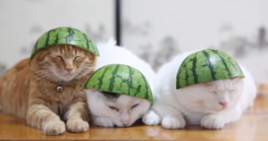 Cats-wear-watermelons-for-hats